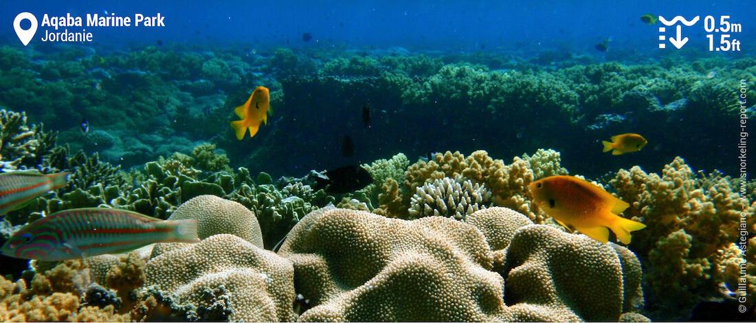 Le platier corallien d'Aqaba, Jordanie