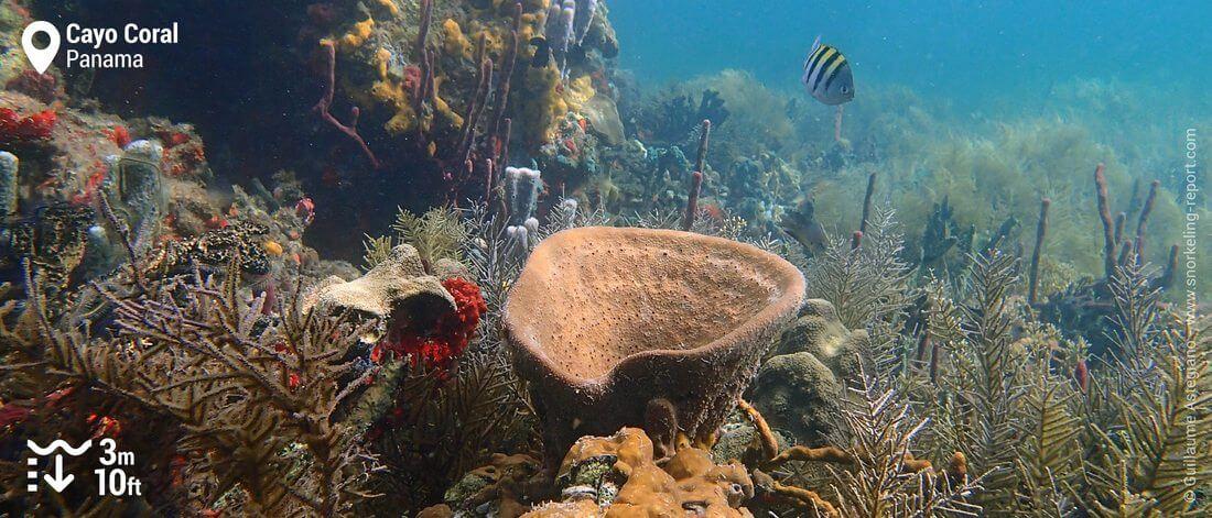 Récif corallien à Cayo Coral