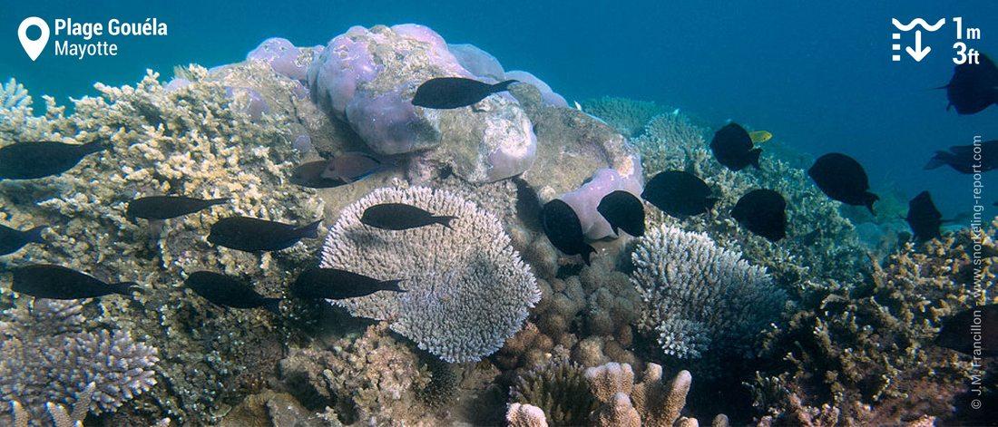 Récif corallien à la Plage Gouéla, Mayotte