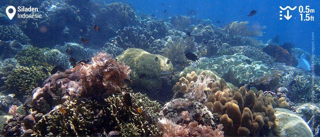 Récif corallien à Siladen, Indonésie