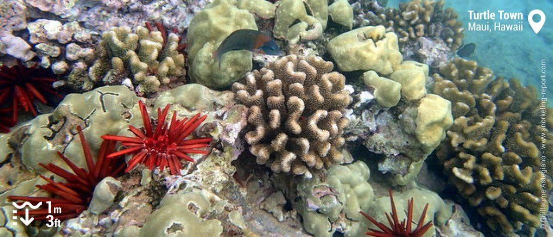 Récif corallien et oursins crayon à Turtle Town, Maui