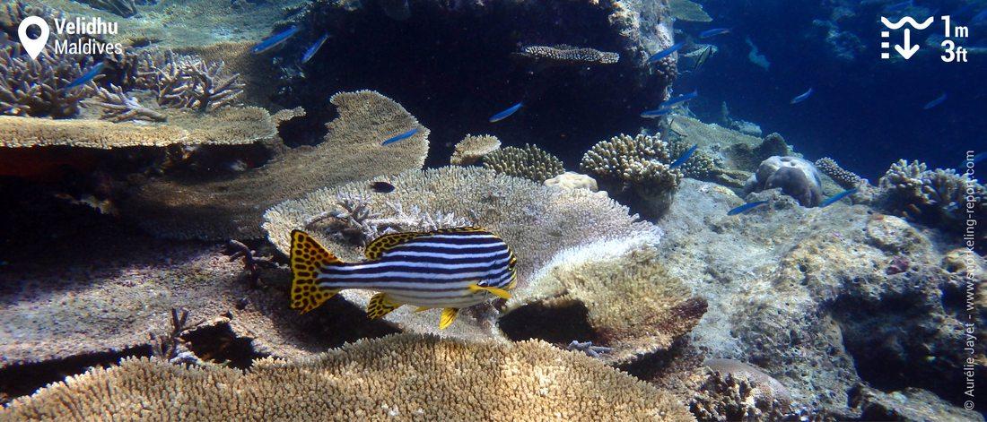 Récif corallien à Velidhu, Maldives