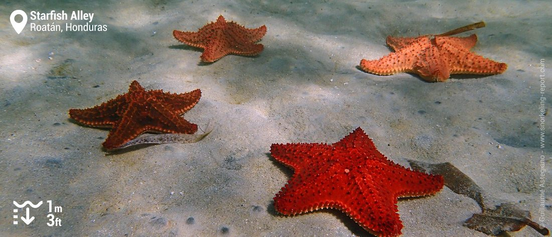 Red cushion sea star at Starfish Alley, Roatan