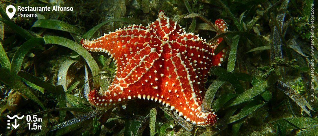 Red cushion sea star in Bocas del Toro