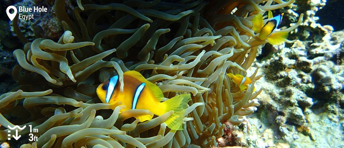 Red Sea clownfish in Dahab's Blue Hole, Red Sea