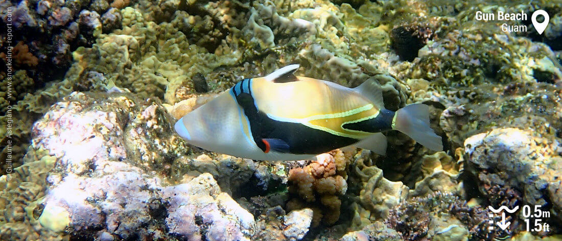 Reef triggerfish in Gun Beach, Guam