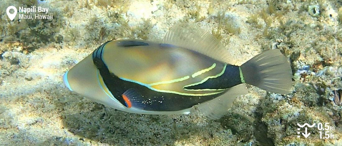 Reef triggerfish at Napili Bay