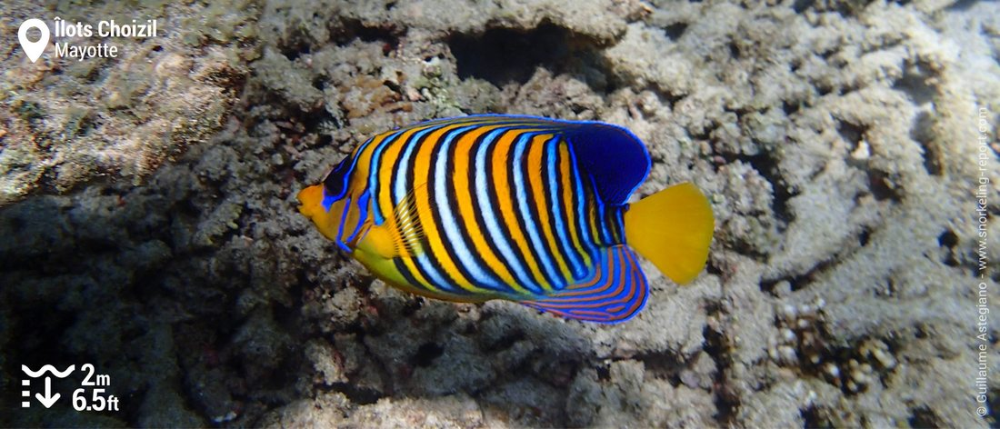 Regal angelfish at the Choizil Islets