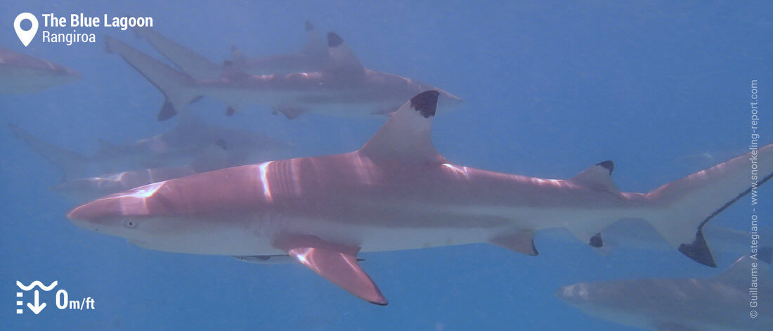 Snorkeling with blacktip reef sharks in the Blue Lagoon, Rangiroa