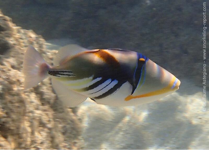 Lagoon triggerfish