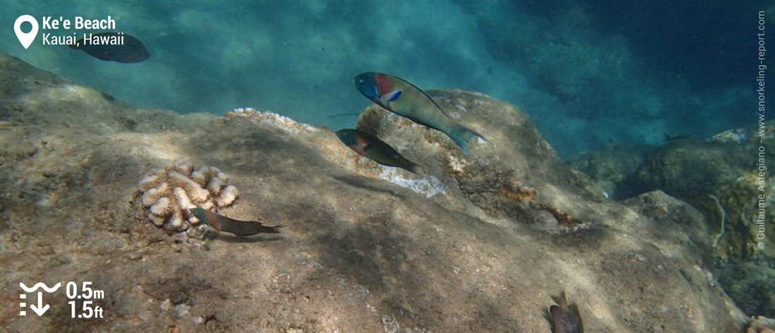 Saddle wrasse at Ke'e Beach