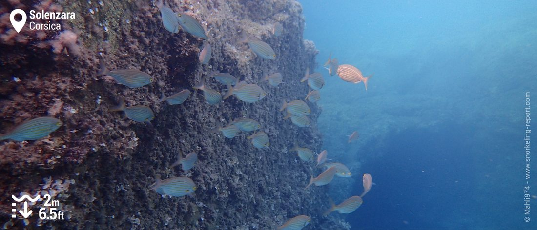 School of salema porgy in Solenzara