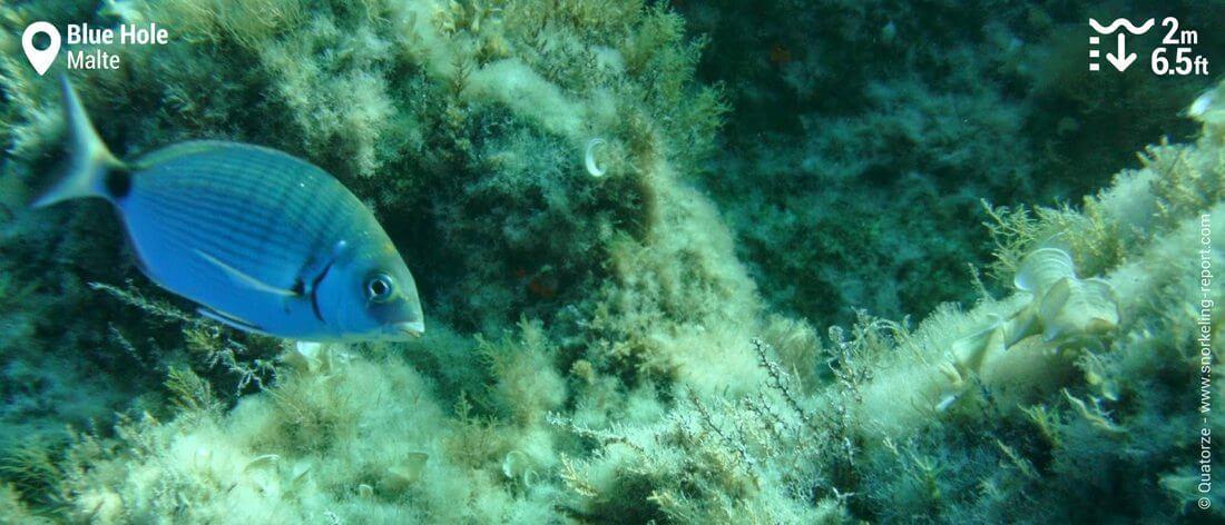 Sar commun au Blue Hole, Malte