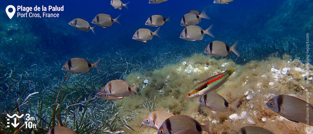 Two-banded seabream and rainbow wrasse at Plage de la Palud