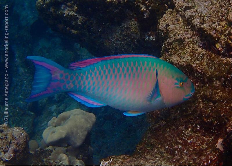 Poisson-perroquet à bandes bleues
