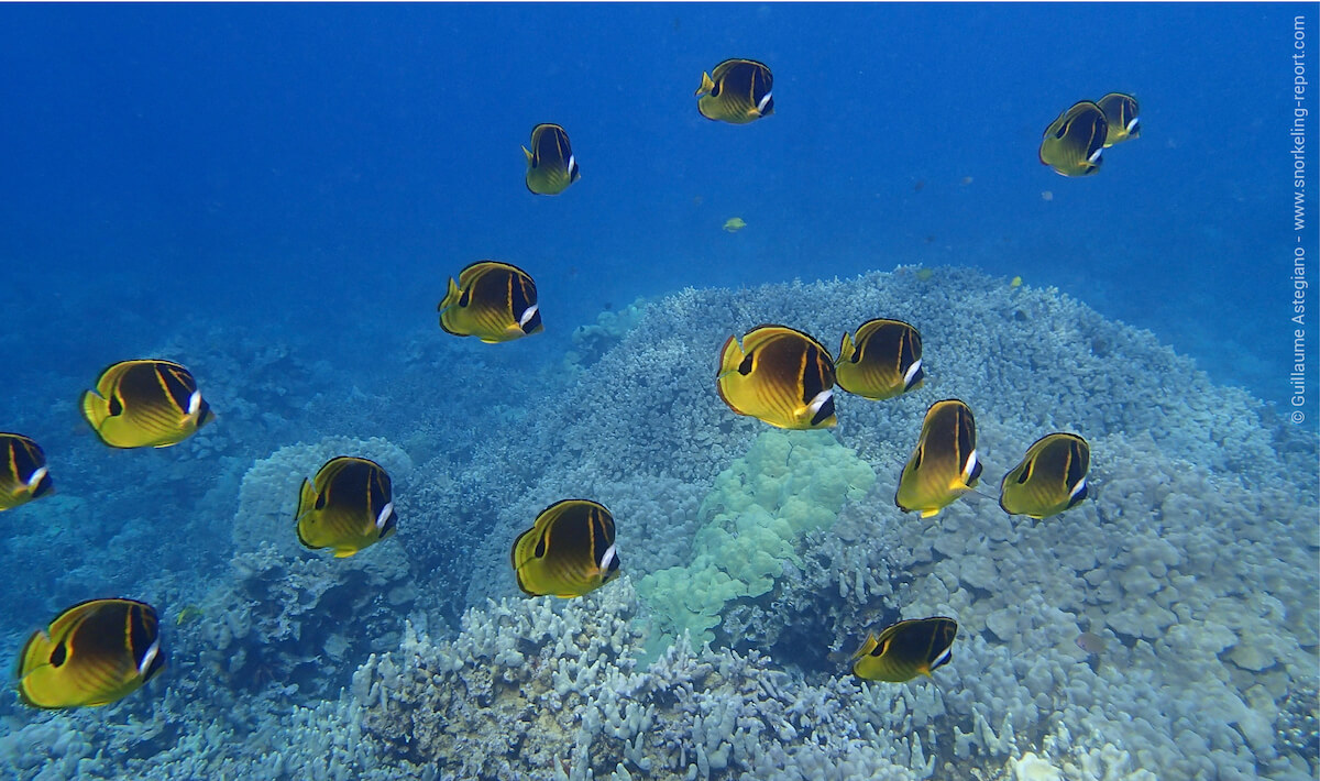 School of raccoon butterflyfish