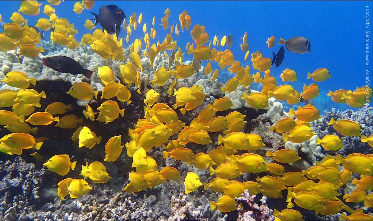 School of yellow tang in Two Step