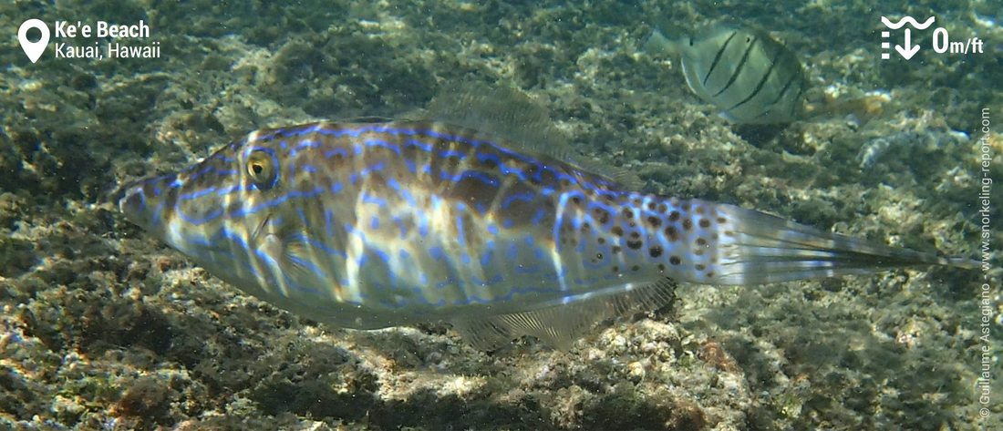 Scribbled filefish at Ke'e Beach