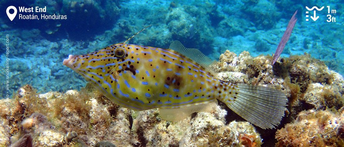 Scribbled filefish at West End