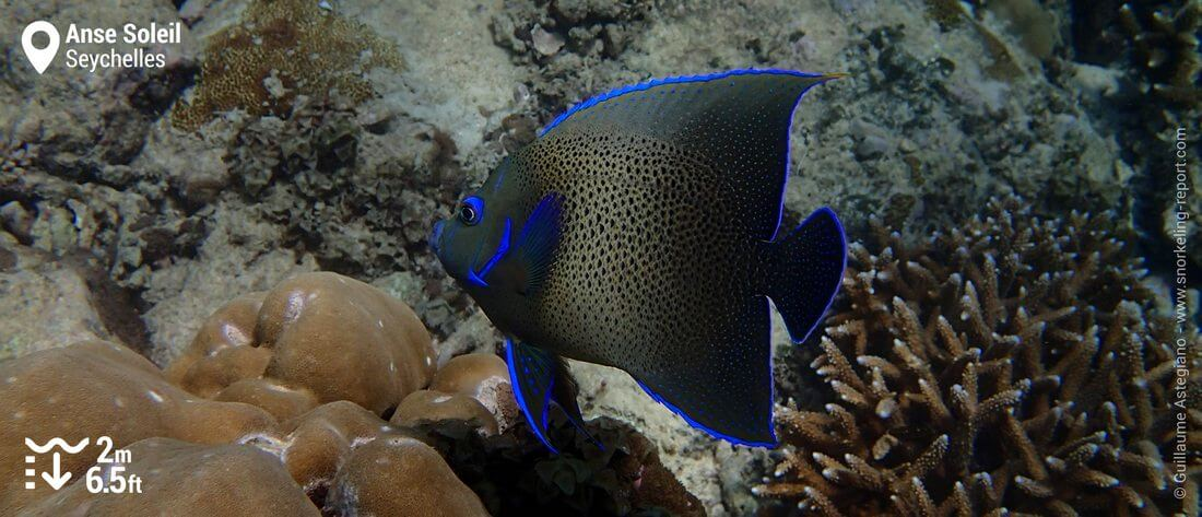 Snorkeling with semicircle angelfish at Anse Soleil, Mahé