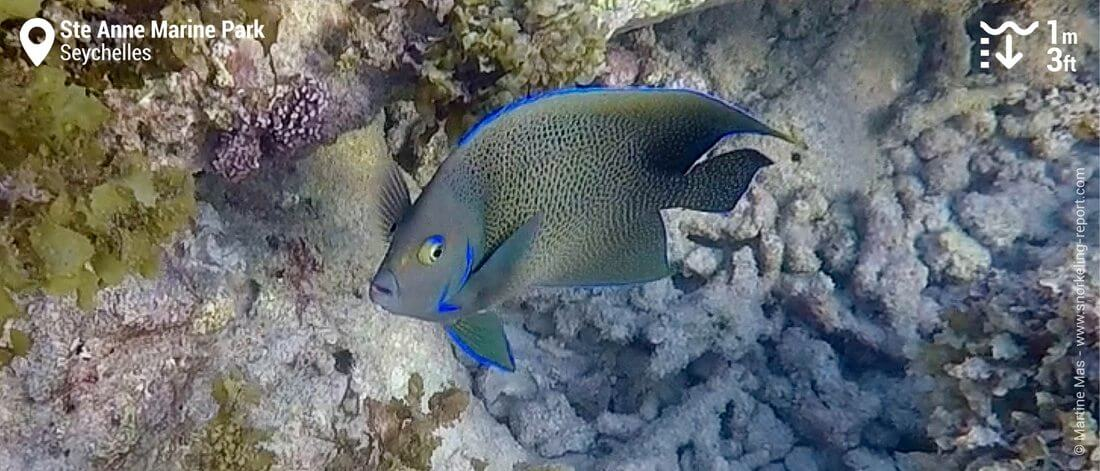 Semicircle angelfish at Ste Anne Marine Park, Seychelles