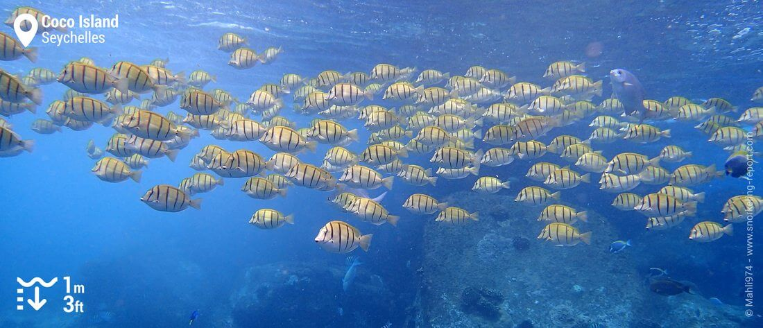 Shoal of convict tang at Coco Island, Seychelles