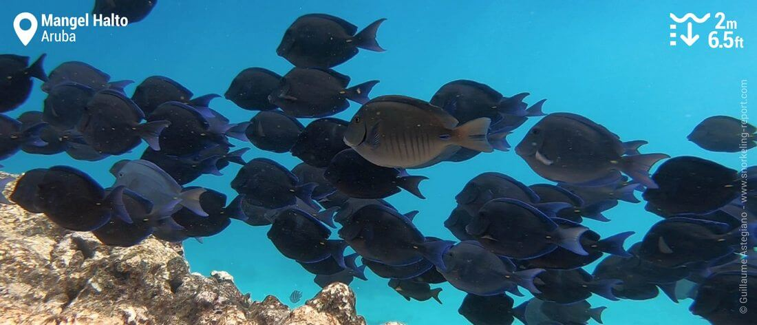 Shoal of blue tang at Mangel Halto, Aruba