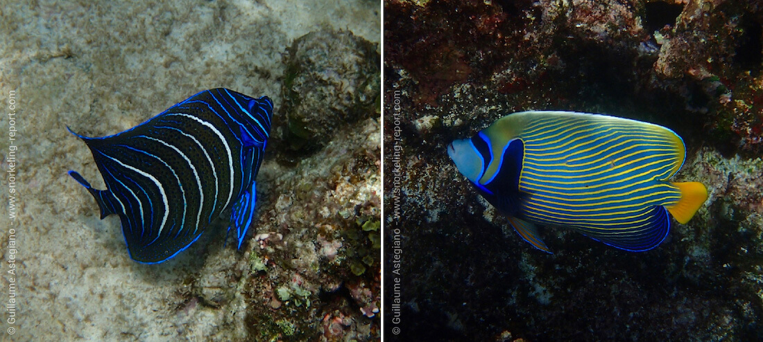 Angelfish species spotted at Anse Soleil, Mahé