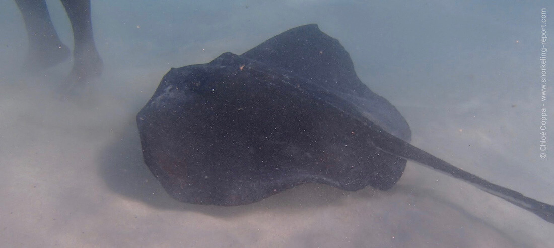 Snorkeling with rays at Stingray City, Antigua