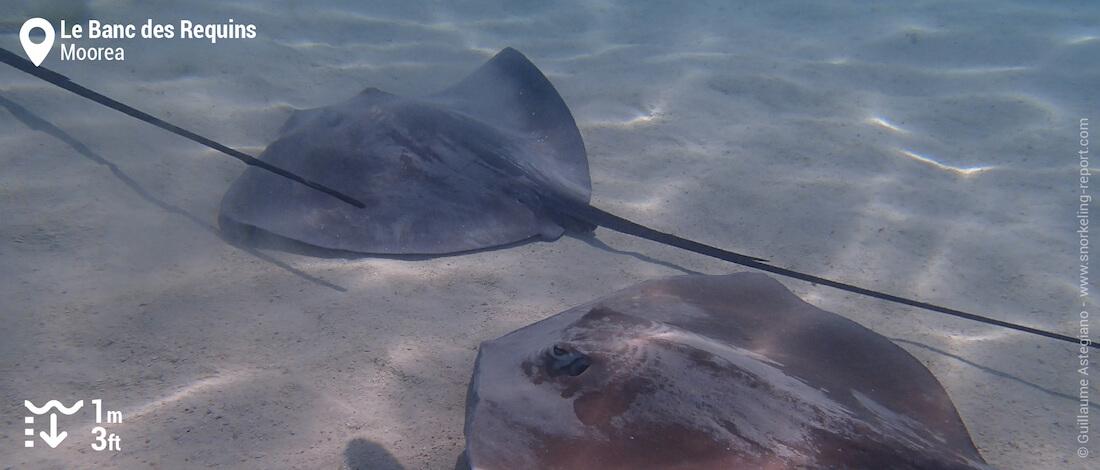 Snorkeling avec des raies au Banc des Requins de Moorea