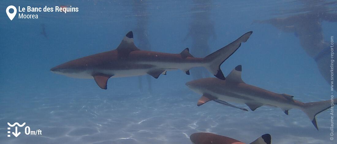 Snorkeling avec des requins au Banc des Requins de Moorea