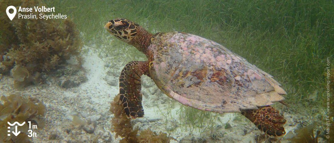 Snorkeling avec une tortue imbriquée à l'Anse Volbert, Seychelles