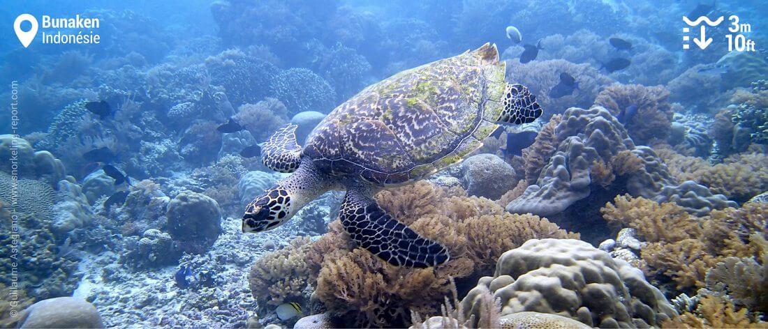 Snorkeling avec tortue imbriquée à Bunaken, Indonésie