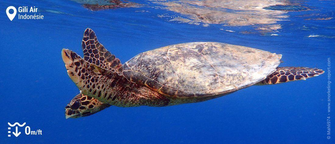 Snorkeling avec tortue imbriquée à Gili Air, Indonésie