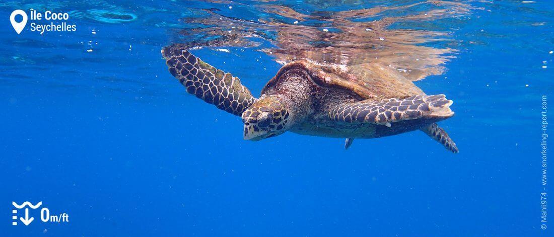 Snorkeling avec les tortues imbriquées de l'île Coco, Seychelles
