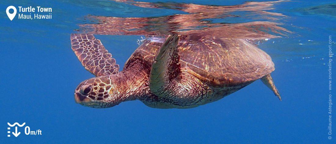 Snorkeling avec des tortues vertes d'Hawaii à Turtle Town, Maui