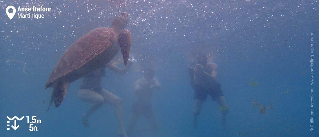 Snorkeling avec les tortues vertes de l'Anse Dufour, Martinique