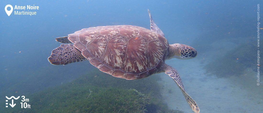 Snokeling avec les tortues marines de l'Anse Noire, Martinique