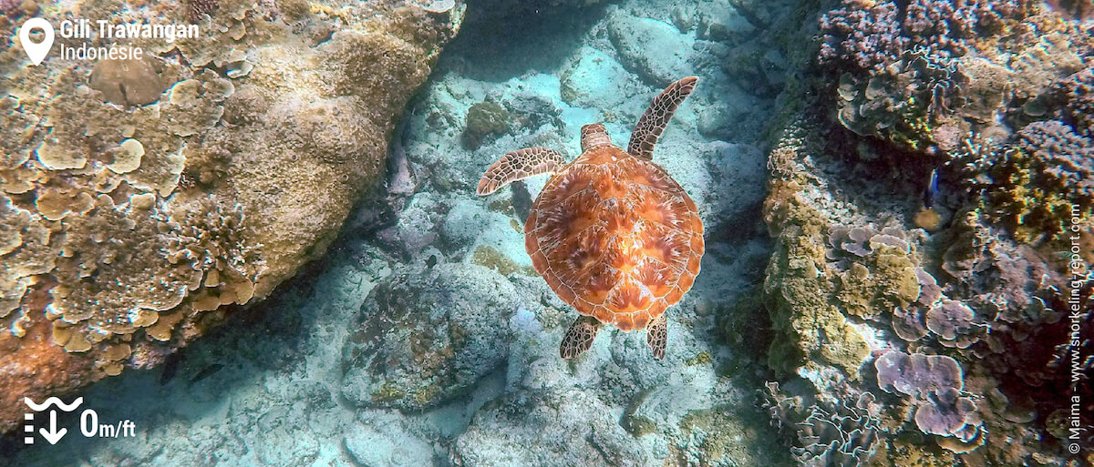 Tortue verte sur le récif de Gili Trawangan