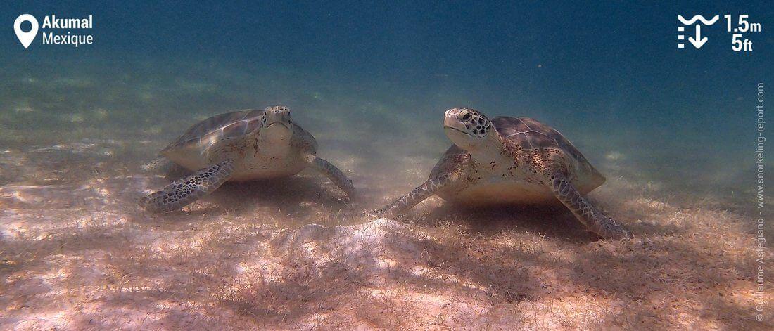Snorkeling avec les tortues vertes d'Akumal, Mexique