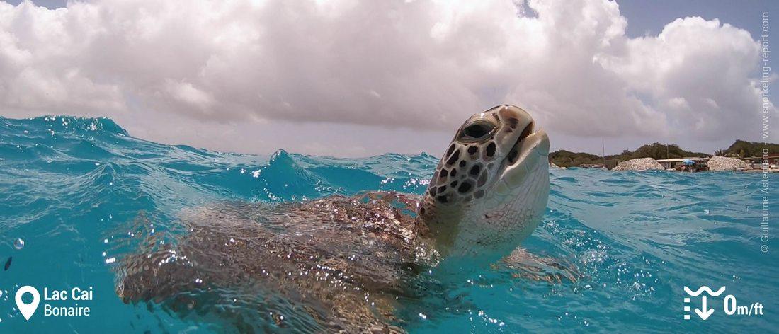 Snorkeling avec des tortues vertes à Lac Cai, Bonaire