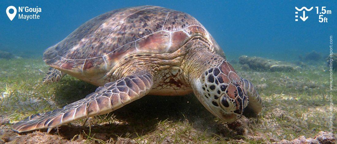 Snorkeling avec les tortues vertes dans la baie de N'Gouja, Mayotte