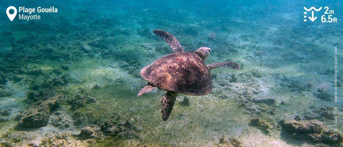 Snorkeling avec les tortues vertes à la Plage Gouéla, Mayotte