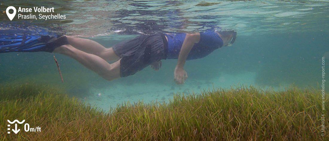 Snorkeleur dans les herbiers de l'Anse Volbert, Praslin