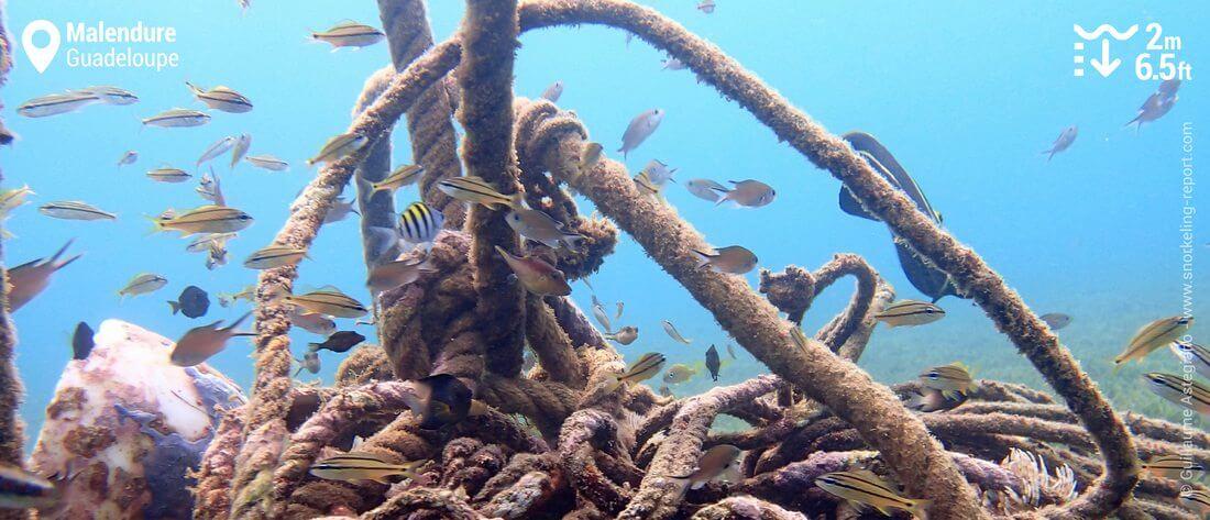 Snorkeling à Malendure, Guadeloupe