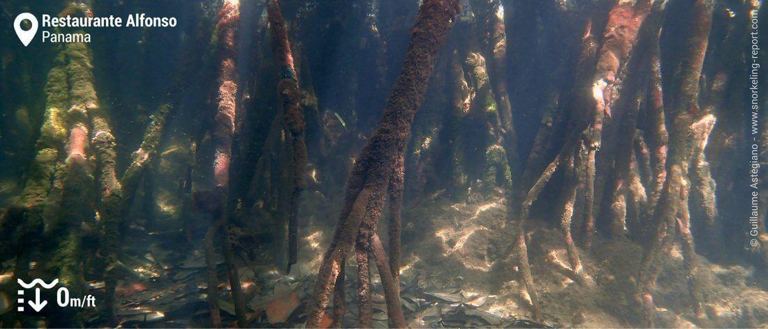 Snorkeling dans les mangroves de Bocas del Toro