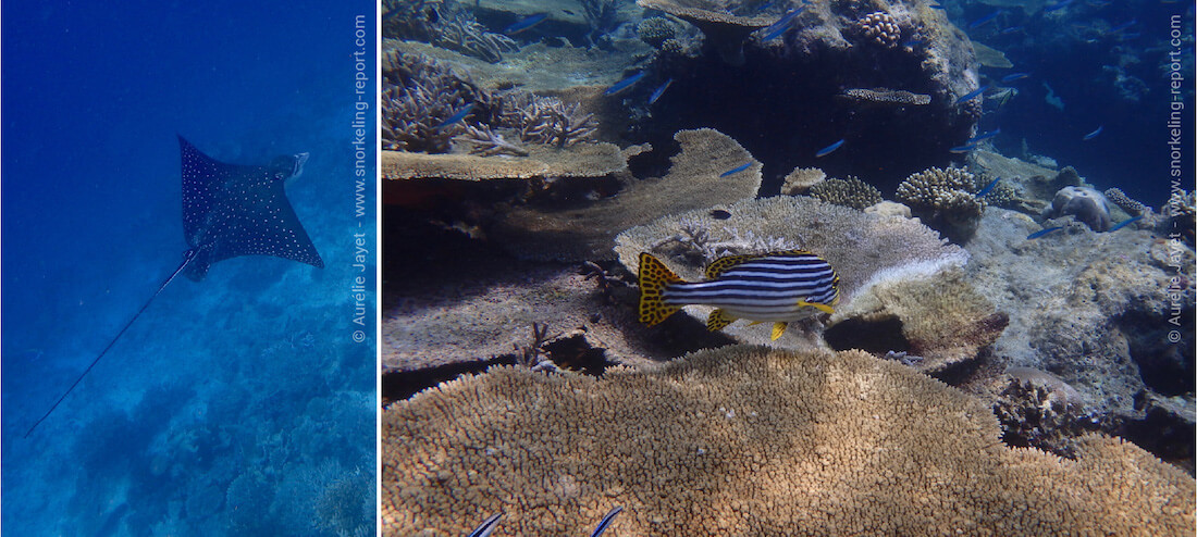 Snorkeling Velidhu Island's reef, Maldives