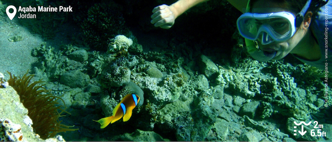Snorkeling with clownfish in Aqaba Marine Park, Red Sea