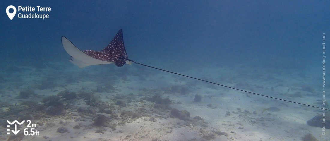 Snorkeling with spotted eagle ray at Petite Terre, Guadeloupe