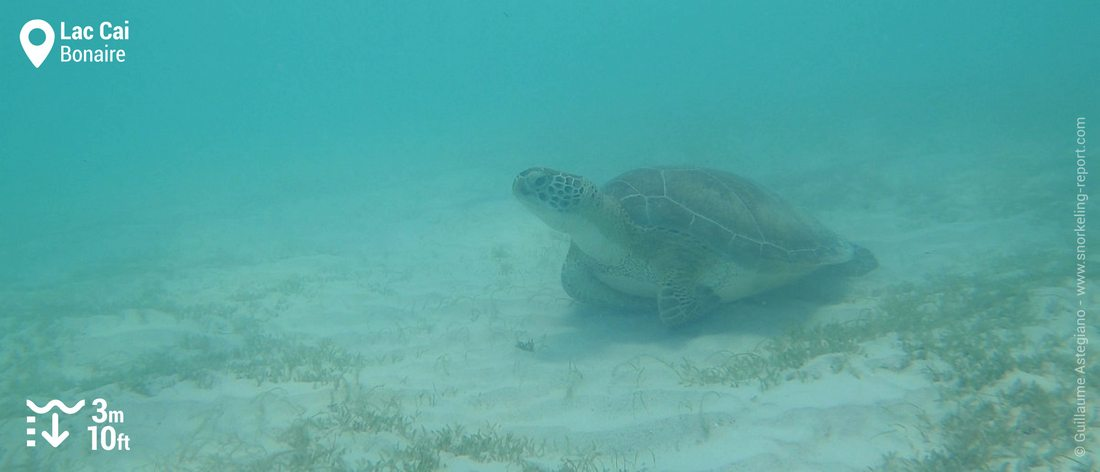 Snorkeling with green sea turtle at Lac Cai, Bonaire